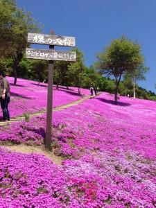 滝上芝桜祭