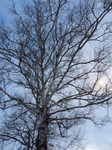 美瑛の丘の木